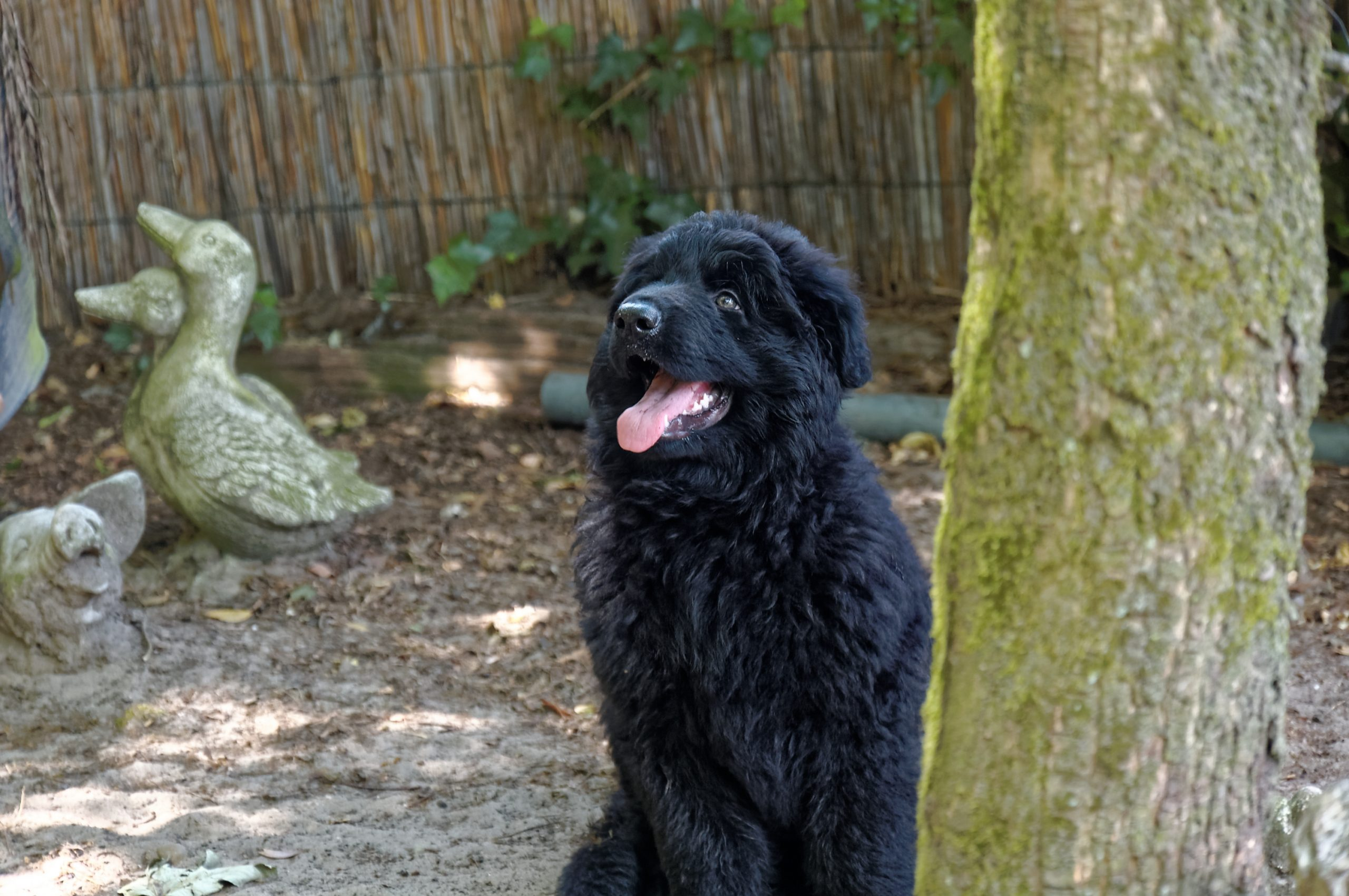 Hund Samu